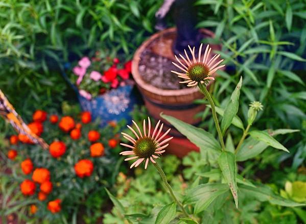 002Coneflowers